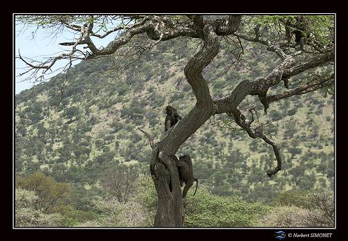 Babouins grimpent dan un arbre - Cadre P