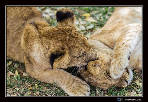 Lionceau mordillant l'oreille - Cadre Pa