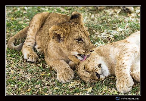 Lionceau lèchant l'oreille - Cadre Paysa