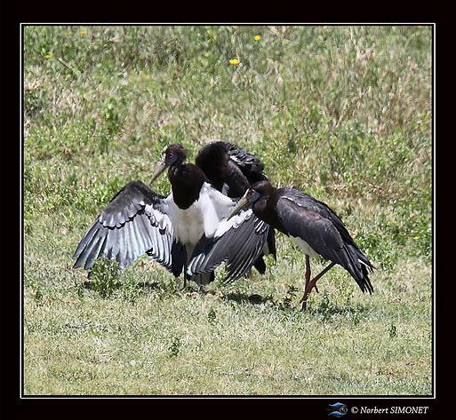 Cigogne_noire_aile_déployée_-_Cadre_Ca