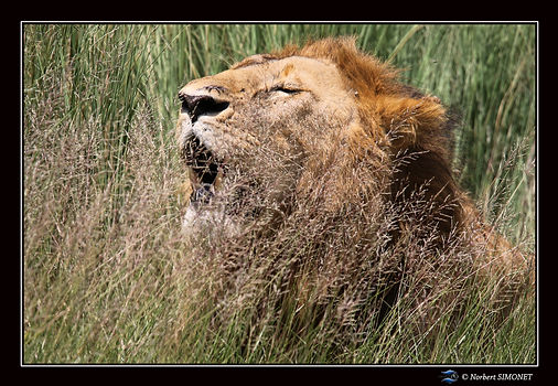 Lion hume l'air dans les herbes - Cadre