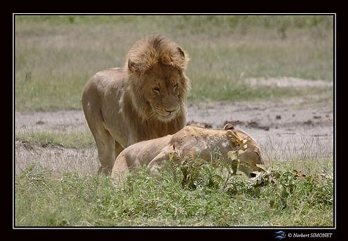 Lionne_se_sépare_du_lion_-_Cadre_Paysag