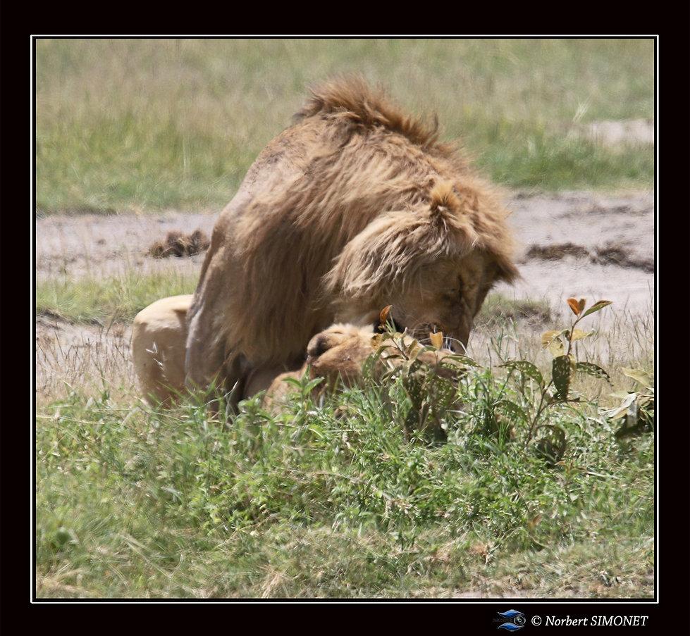 Lion_couvre_la_lionne_4_-_Cadre_Carré_-