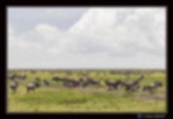 Gnous en migration - Cadre Paysage -  Pl