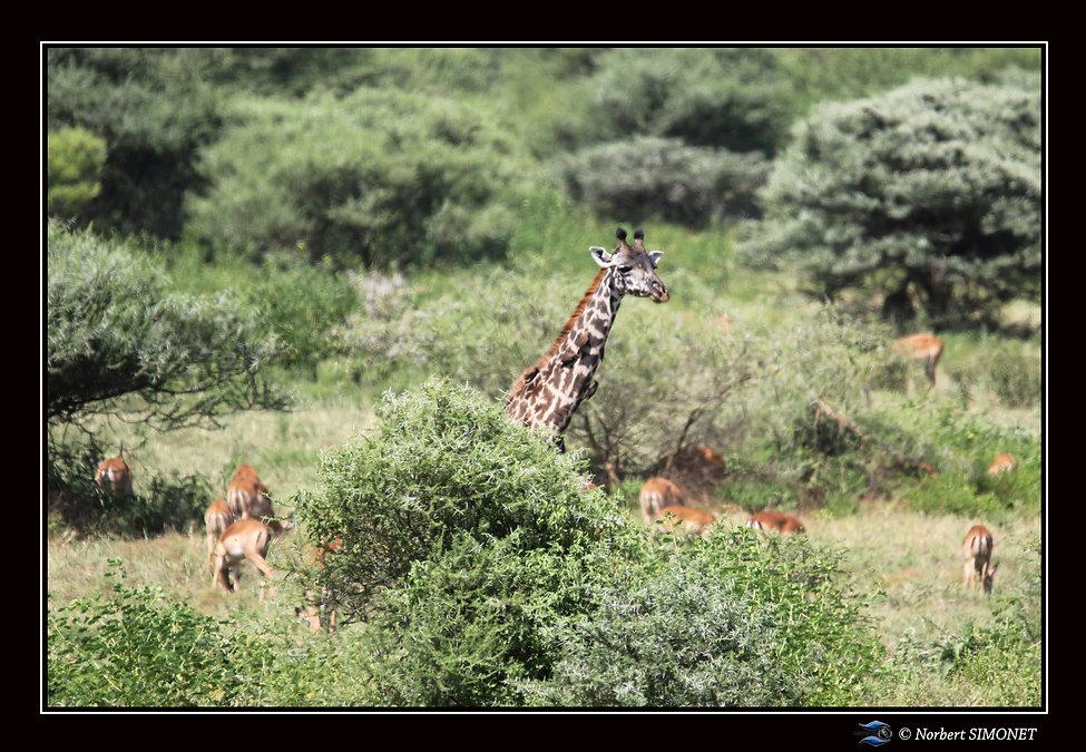 Girafe au-dessus des impalas - Cadre Pay
