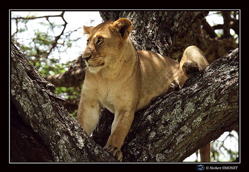 Lionne_entière_dans_un_arbre_-_Cadre_Pa