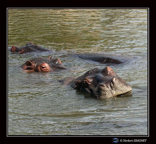 Hippopotames têtes dans l'eau - Cadre Ca