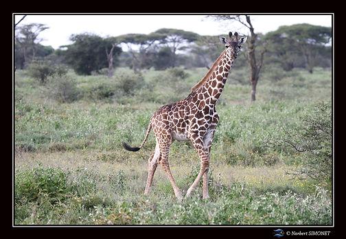 Girafon marche bis - Cadre Paysage - Pla