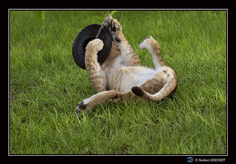Lionceau sur le dos joue avec un pneu -