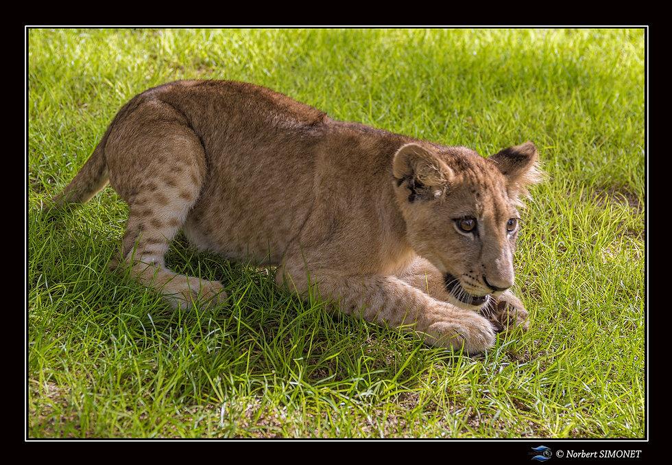 Lionceau prête à bondir - Cadre Paysage