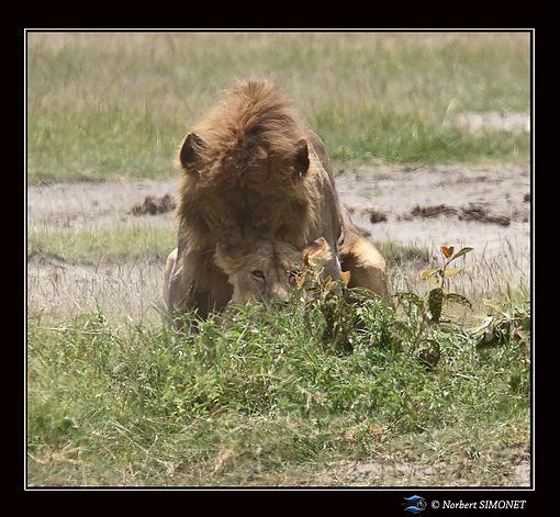 Lion_couvre_la_lionne_2_-_Cadre_Carré_-