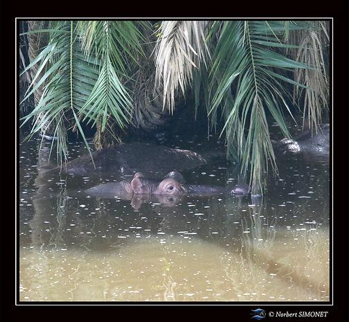 Hippopotame sous un palmier - Cadre Carr