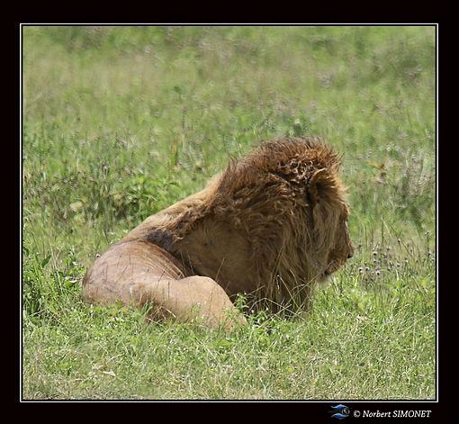 Lion_couché_de_dos_dans_le_cratère_du_