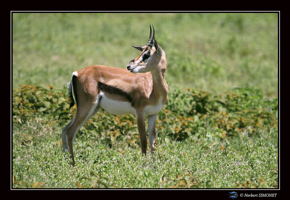 Impala_juvénile_regarde_en_arrière_-_C