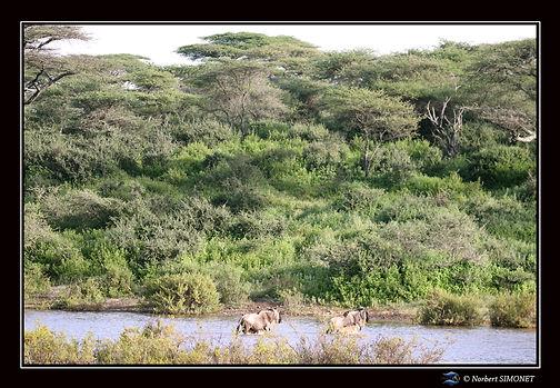 Gnous traversent un point d'eau bis - Ca