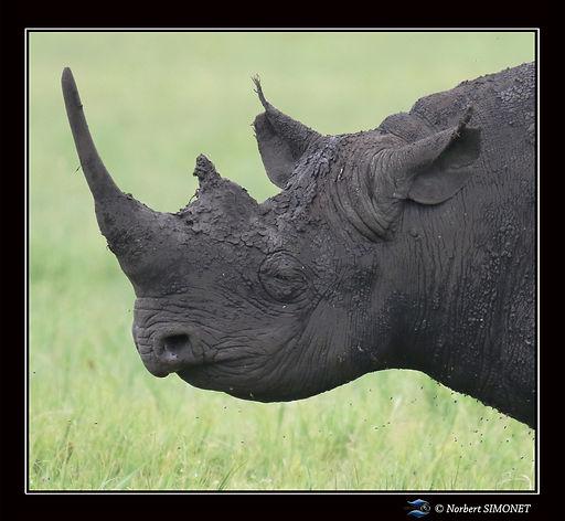 Rhinocéros_tete_GP_-_Cadre_Carré__-_Cr