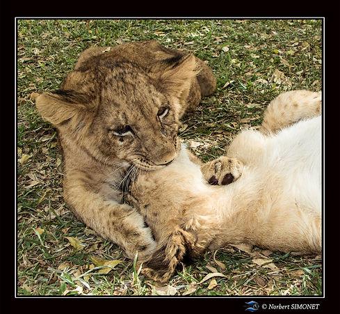 Lionceaux jouent 3 technique de l'étouff