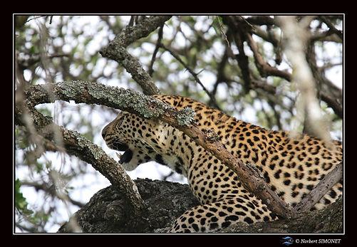 Léopard_couché_dans_un_arbre_GP_-_Cadr