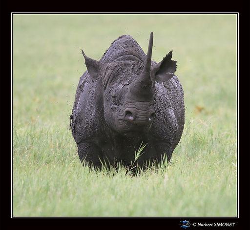 Rhinocéros_face_-_Cadre_Carré__-_CratÃ