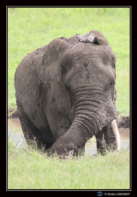 Elephant_dans_la_boue_-_Cadre_Portrait-_