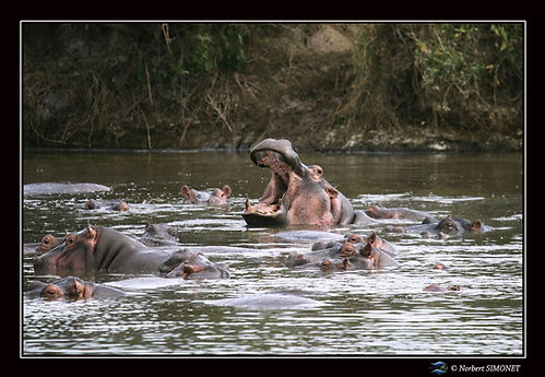 Hippopotame gueule ouverte 3 - Cadre Pay