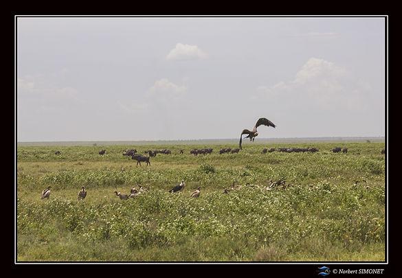 Gnous et vautours dans la plaine - Cadre