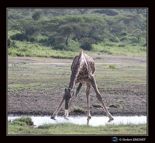 Girafe_relève_la_tête_de_l'eau_-_Cadre