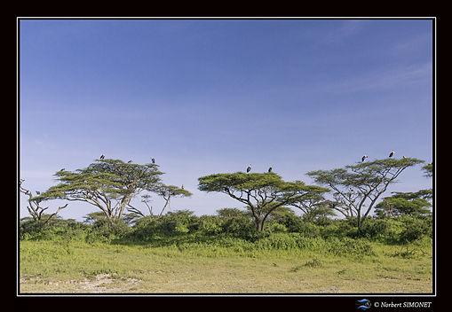 Marabouts sur les arbres  - Cadre Paysag