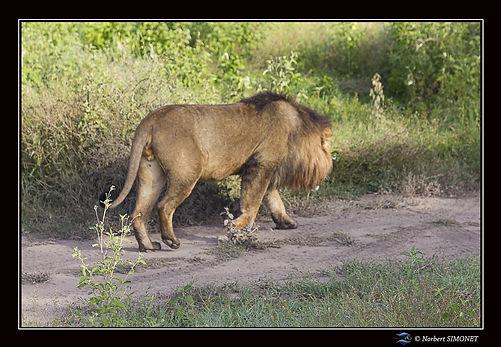 Lion entier profil marche - Cadre Paysag