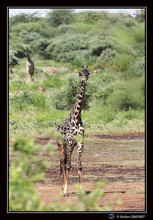 Girafe face dans le paysage ter GP - Cad