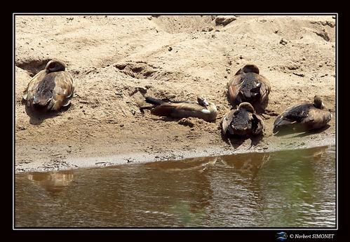 Oies d'egypte - Cadre Paysage - Serenget