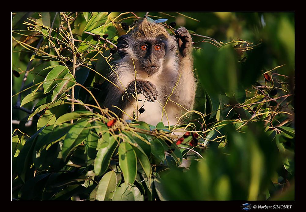Le singe vert  ou callitriche se rencontre fréquemment en Afrique subsaharienne où il habite les zones boisées et les savanes.  Animal particulièrement photogénique dans ses attitudes...     