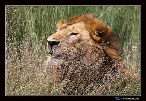Lion dans les herbes bis - Cadre Paysage