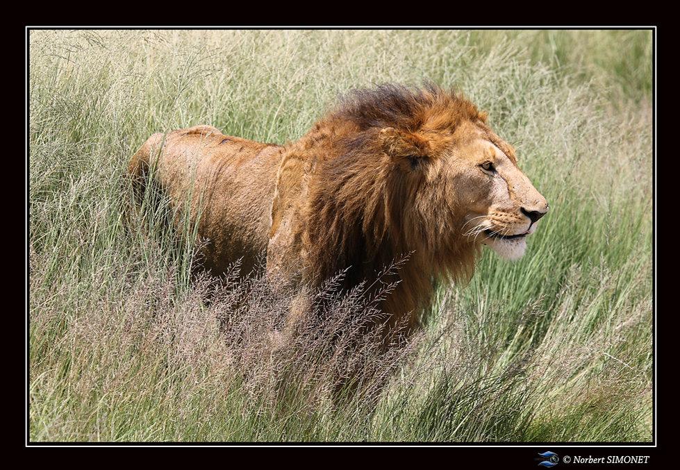 Lion debout sort des herbes bis - Cadre