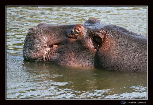 Hippopotame tête GP - Cadre Paysage - Se