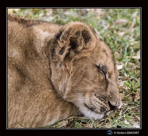 Lionceau dort  profil - Cadre Carré - Ra