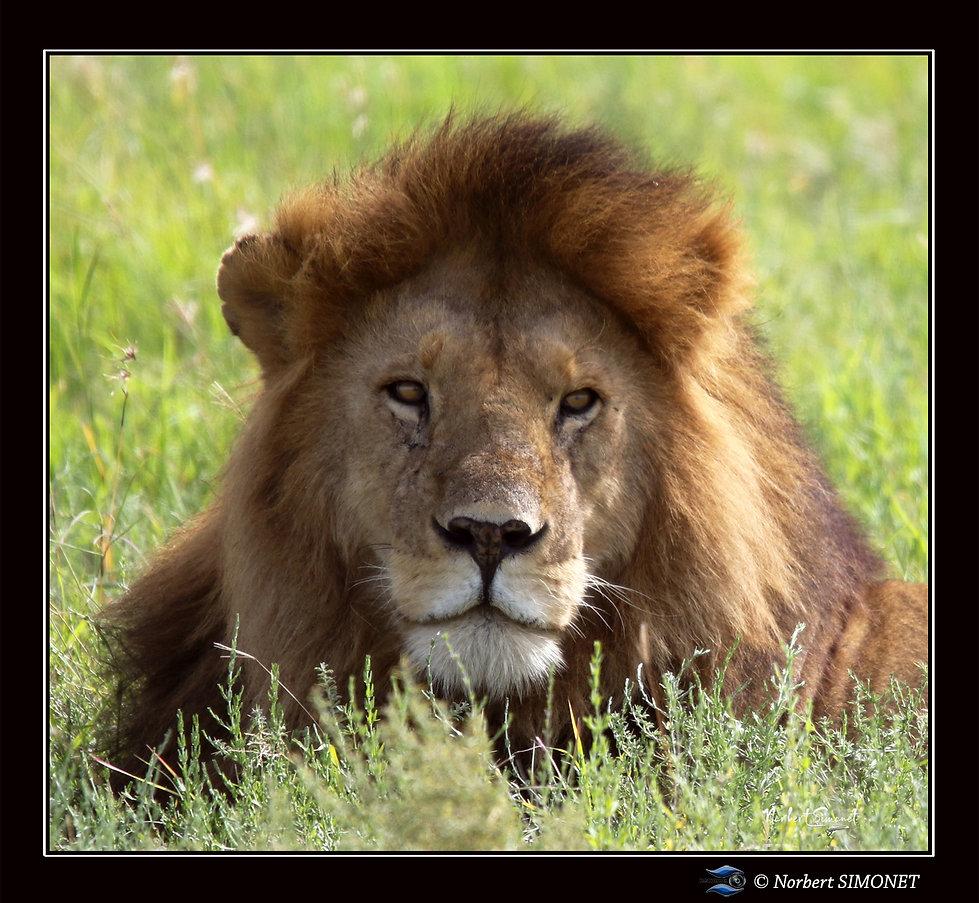 Lion_tête_GP_corrigé_-_Cadre_Carré_-_
