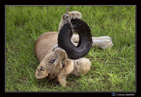 Lionceau joue avec un pneu 2 - Cadre Pay