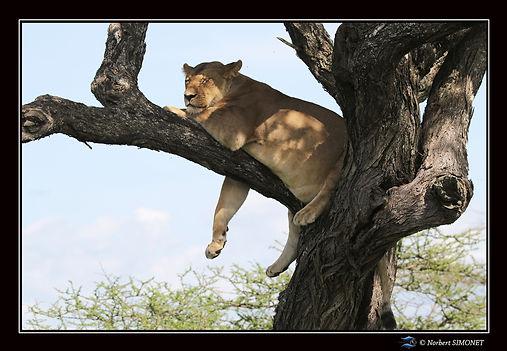 Lionne dort dans un arbre bis - Cadre Pa