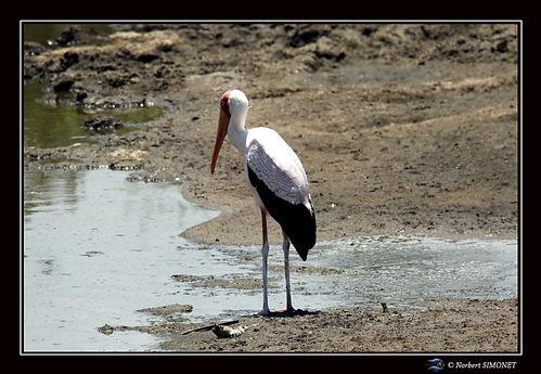 Cigogne au point d'eau - Cadre Paysage è
