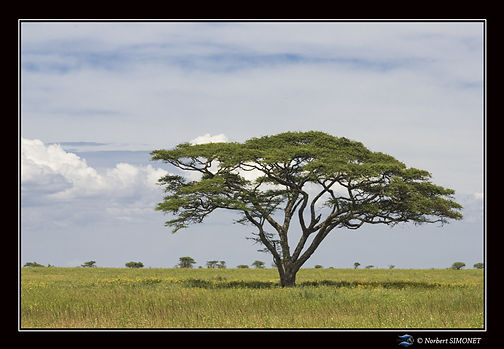 Arbre bis - Cadre Paysage - Serengeti 23