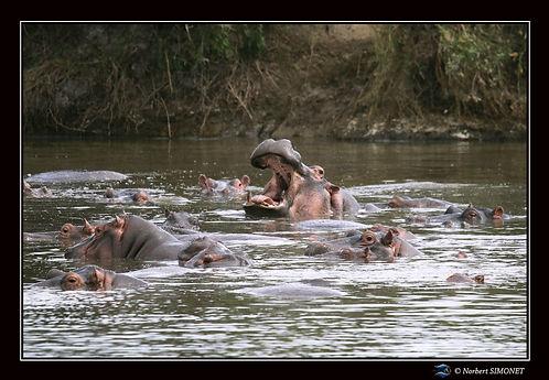Hippopotame gueule ouverte 2 - Cadre Pay