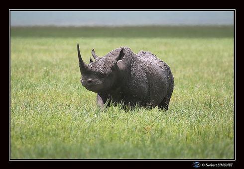 Rhinocéros_face_tête_haute_-_Cadre_Pay