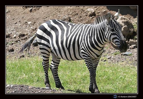Zèbres_GP_dans_le_cratère_du_Ngorongor