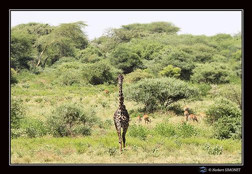 Girafe face dans le paysage - Cadre Pays