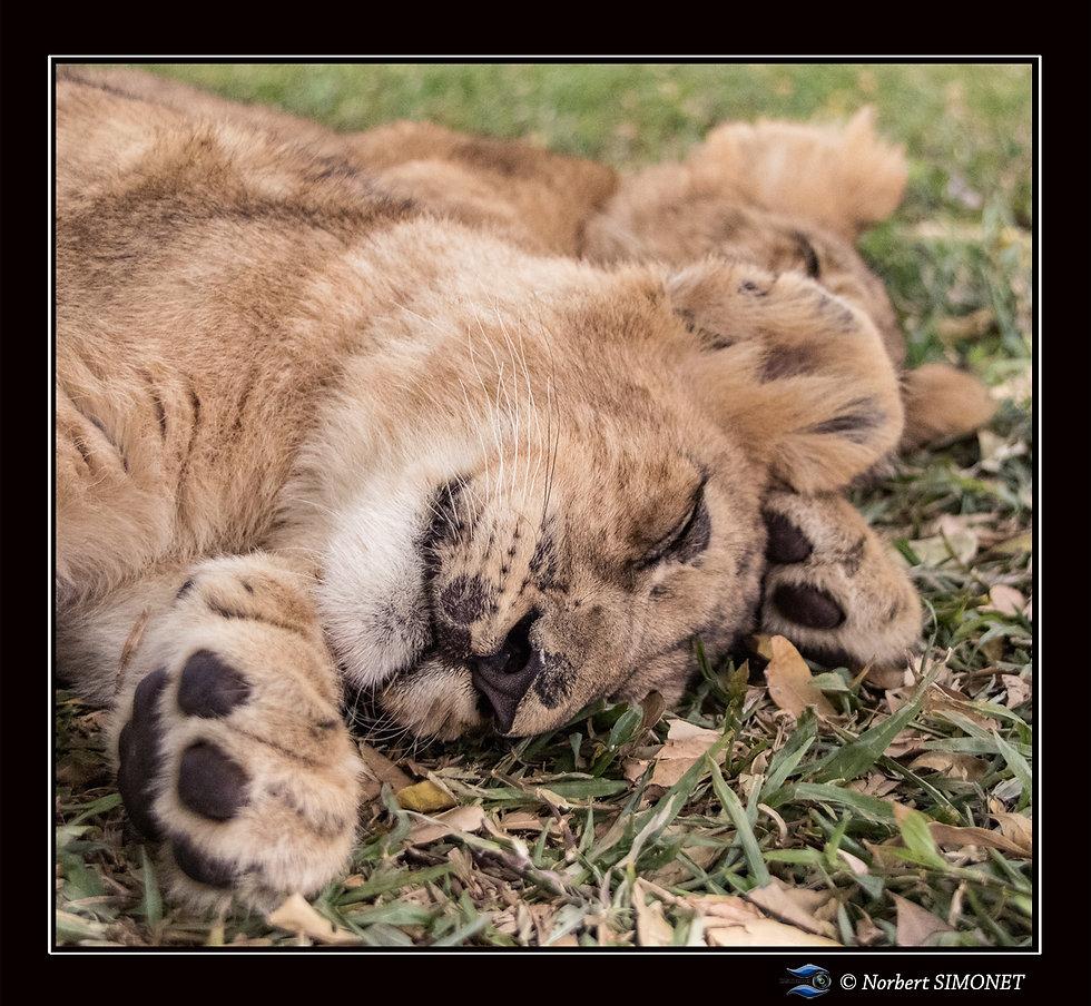 Lionceaux dorment  face GP - Cadre Carré
