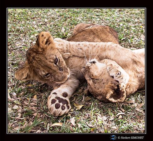 Lionceaux jouent 1 - Cadre Carré - Ranch