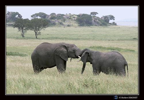 Eléphants_face_à_face_bis_-_Cadre_Pays