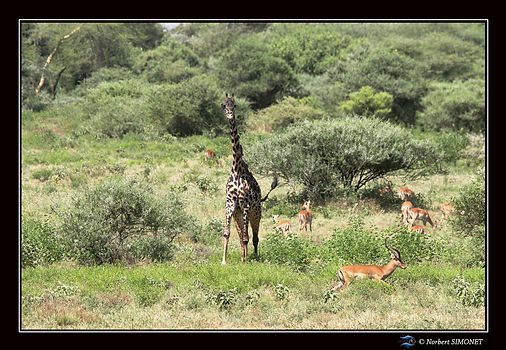 Girafe_amputée_d'une_oreille_et_impalas