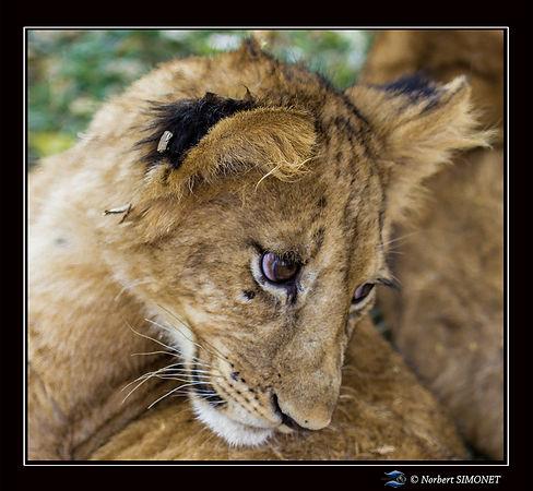 Lionceau se redresse - Cadre Carré - ran